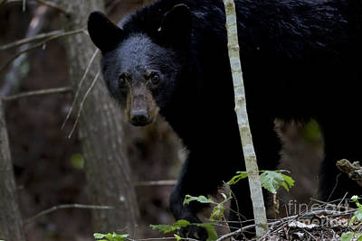 Photograph - Smoky Mountain Black Bear by Ronald Lutz