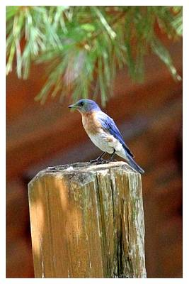 Photograph - Smoky Mountain Bluebird by Frank Wickham