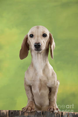 Smooth-coated Dachshund Art Print