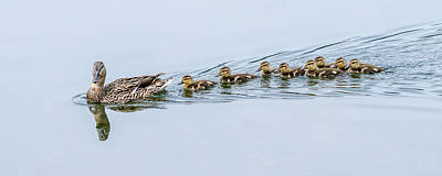 Baby Mallards Photograph - Smooth Sailing by Loree Johnson
