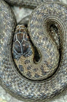 July 2013 Photograph - Smooth Snake by Colin Varndell