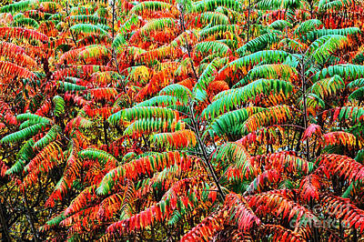 Rhus Photograph - Smooth Sumac Fall Color by Thomas R Fletcher