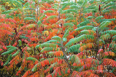 Rhus Photograph - Smooth Sumac Red And Green Leaves by Thomas R Fletcher