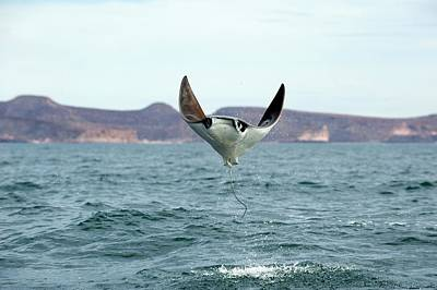 Smoothtail Mobula Ray Leaping Art Print by Christopher Swann