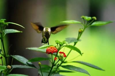 Ruby Throated Hummingbird  Original