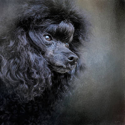 Photograph - Snack Spotter - Black Toy Poodle by Jai Johnson