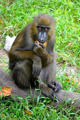 Mandrill Photograph - Snacking Mandrill by Richard Bryce and Family