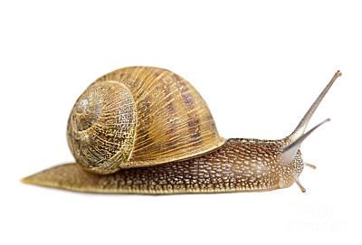 White Background Photograph - Snail by Elena Elisseeva