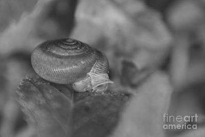 Photograph - Snail In Black And White by Olga Hamilton