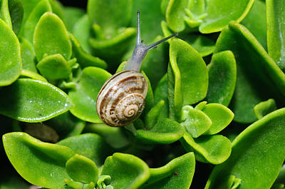 Photograph - Snail by Ivelin Donchev