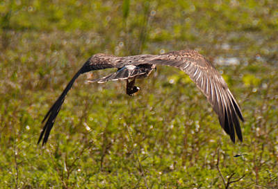 Photograph - Snail Kite With Apple Snal by John Black