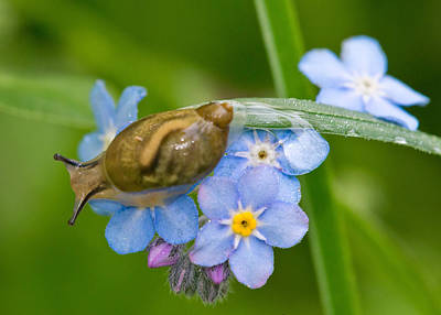 Photograph - Snail On Flowers by Michael Lustbader