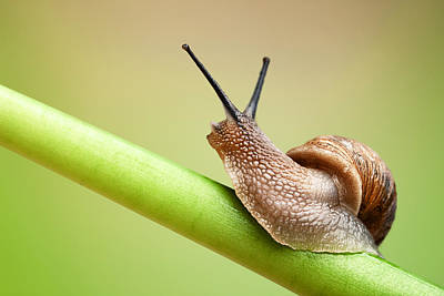 Animals Photos - Snail on green stem by Johan Swanepoel
