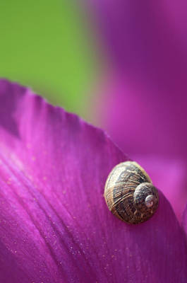 Deep Pink Photograph - Snail On Tulip Petals Abstract by Nigel Downer
