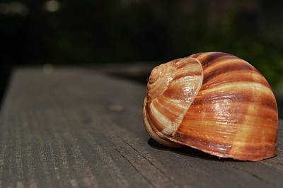 Photograph - Snail Shell II by Mary Zeman