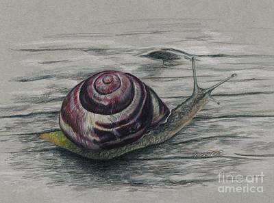 Drawing - Snail Study by Meagan  Visser