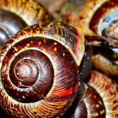 Snails In Closeup  Art Print
