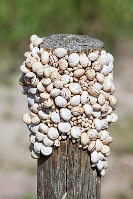 Congregation Photograph - Snails On A Fence Post by Ashley Cooper