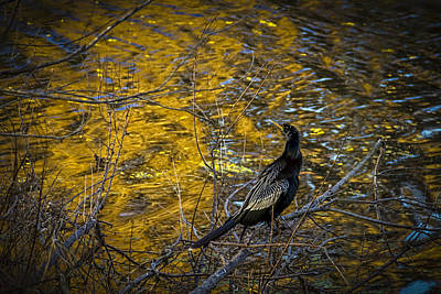 Black Birds Photograph - Snake Bird by Marvin Spates