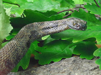 Nuture Photograph - Snake by Dotti Hannum