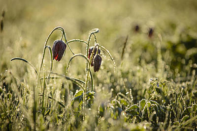 Snakes Head Fritillary Photograph - Snake Head's Fritillary In Gold by Andy-Kim Moeller