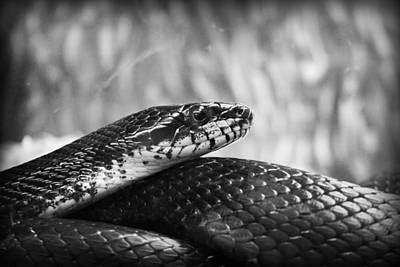 Photograph - Snake In Black And White by Kelly Hazel