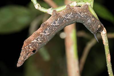 Snake Mimic Caterpillar Art Print by Dr Morley Read