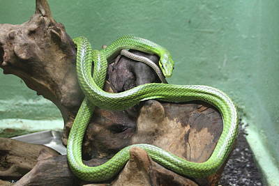 Snake Photograph - Snake - National Zoo - 01131 by DC Photographer
