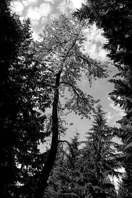 Photograph - Snake Tree - Lost Lake -whistler by Amanda Holmes Tzafrir
