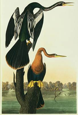 Anhinga Wall Art - Photograph - Snakebird by Natural History Museum, London/science Photo Library