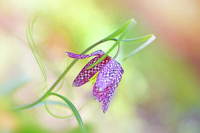 Checkers Photograph - Snake's Head Fritillary by Jacky Parker