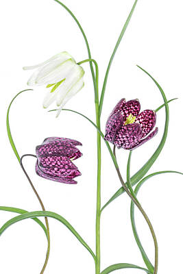 Checkers Photograph - Snakes Head Fritillary by Mandy Disher