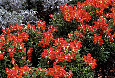 Antirrhinum Wall Art - Photograph - Snapdragon And Dusty Miller by Sally Mccrae Kuyper/science Photo Library