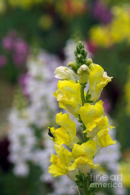 Photograph - Snapdragon One by Ken Frischkorn