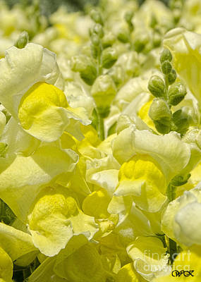 Photograph - Snapdragons by Wanda Krack