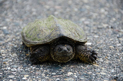 Photograph - Snapping Turtle 2 by Cassie Marie Photography
