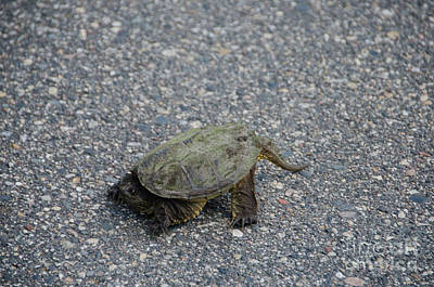 Photograph - Snapping Turtle 3 by Cassie Marie Photography