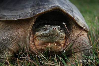 Photograph - Snapping Turtle by E B Schmidt