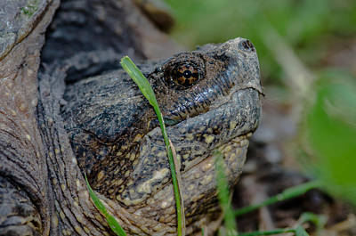 Photograph - Snapping Turtle by Jim Zablotny