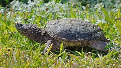 Photograph - Snapping Turtle by Rudy Umans