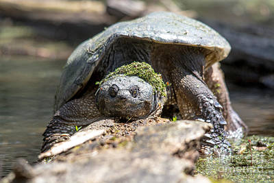 Photograph - Snapping Turtle With Mossy Wig by Cheryl Baxter