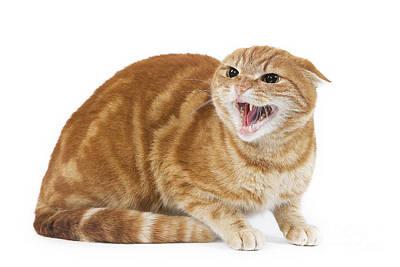 Snarling Cat Art Print