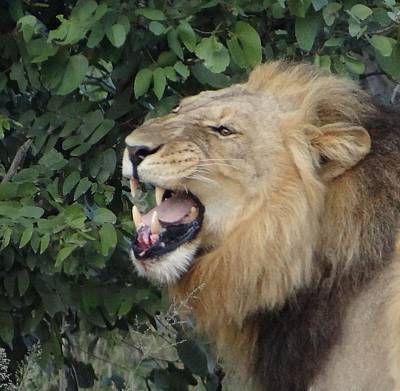 Photograph - Snarling Lion by Bruce W Krucke