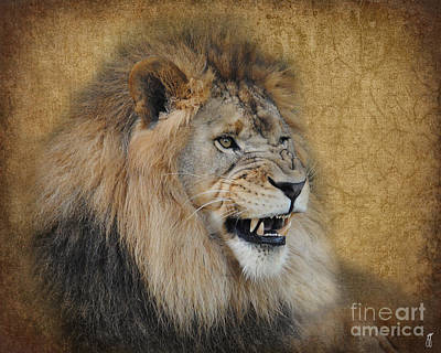 Photograph - Snarling Male Lion by Jai Johnson