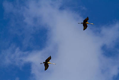 Sports Royalty-Free and Rights-Managed Images - Sndhill Cranes in flight by David Tennis