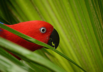Eclectus Parrot Photograph - Sneak Peek by Fraida Gutovich