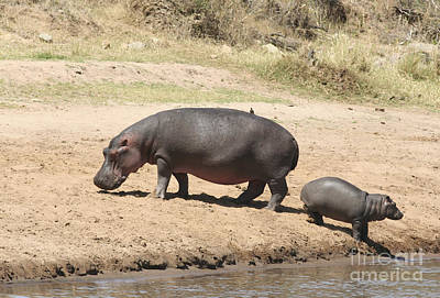 Hippopotamus Photograph - Sneaking Away From Mum by Liz Leyden