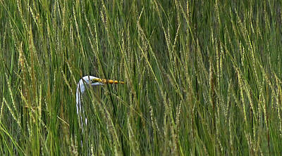 Photograph - Sneaky Egret In Grass by Deborah Smith