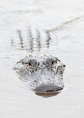 Reptiles Royalty-Free and Rights-Managed Images - Sneaky Swamp Gator by Carol Groenen