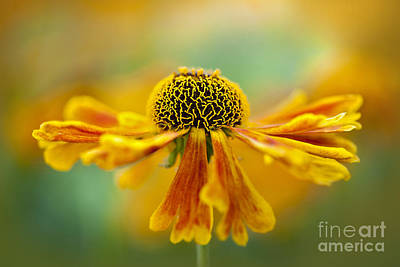 Sneezeweed Photograph - Sneezeweed by Jacky Parker